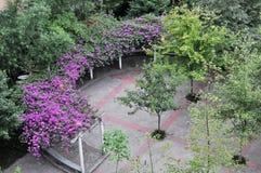 Piękny Bougainvillea kwiatów ogród Zdjęcie Stock