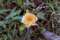 Piękny brzoskwinia kwiat na zboczu góry, Fotografia Royalty Free