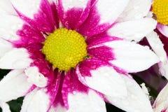 Piękny chryzantema kwiatu kwitnienie Obraz Stock
