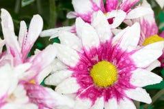 Piękny chryzantema kwiatu kwitnienie Obrazy Stock
