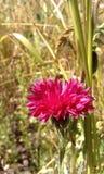 piękny cornflower Zdjęcia Royalty Free