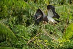 Piękny coulourful bocian w natury siedlisku w Afryka Zdjęcie Royalty Free