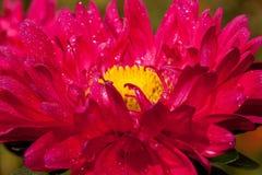 Piękny cynia kwiat kwitnie po lato deszczu Obrazy Stock