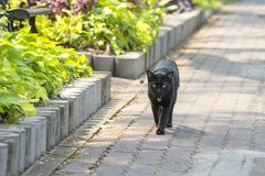 Piękny czarnego kota odprowadzenie w ogródzie, Tajlandia Zdjęcia Royalty Free