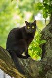 Piękny czarny Bombay kota obsiadanie w drzewie z bacznym spojrzeniem w lecie na naturze Fotografia Stock
