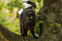 Piękny czarny kot w drzewie w lecie na naturze Fotografia Royalty Free