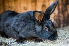 Piękny czarny królik Zdjęcia Royalty Free
