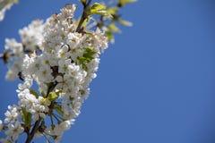 Pi?kny czere?niowy okwitni?cie w wiosna czasie nad niebieskim niebem fotografia stock