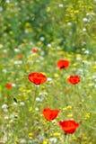 Piękny czerwony anemonowy kwiat na wiosny polu Obraz Stock