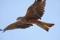 Piękny czerwony kania ptak zdobycz w lota karmieniu na skrzydle Zdjęcie Stock