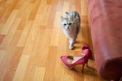 Piękny czerwony kota zerkanie out od bukieta biali astery w wysokiej czarnej wazie za Kobiety ` s moda heeled Zdjęcia Royalty Free