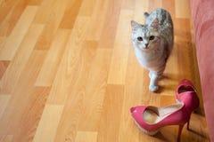 Piękny czerwony kota zerkanie out od bukieta biali astery w wysokiej czarnej wazie za Kobiety ` s moda heeled Zdjęcia Stock