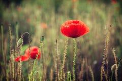 Piękny czerwony kukurydzany maczek kwitnie (Papaver rhoeas) Obraz Royalty Free