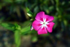 Piękny czerwony kwiat Zdjęcia Stock