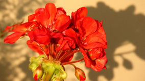 Piękny czerwony kwiat fotografia royalty free
