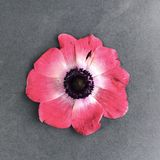 Piękny czerwony kwiat na popielatym tle Obraz Stock