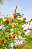 Piękny czerwony rose-hip Obraz Stock