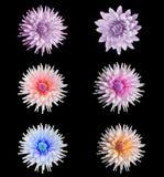 Piękny dalia kwiatu set Fotografia Royalty Free