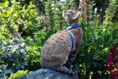 Piękny Devon rex kota odprowadzenie w ogródzie Obraz Stock