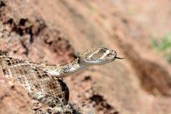 Piękny diamondback Fotografia Stock