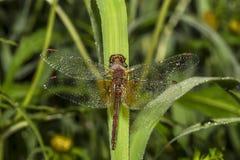 Piękny dragonfly Zdjęcie Royalty Free