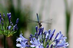 Piękny Dragonfly i agapant Zdjęcie Royalty Free