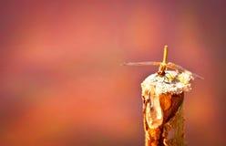 Piękny dragonfly obsiadanie na kiju Obraz Stock