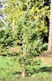 Piękny drzewo Obrazy Royalty Free