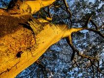 Piękny drzewo w Kandy ogródzie botanicznym Fotografia Stock
