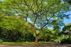 Piękny drzewo w Waimea dolinie na Oahu wyspie Zdjęcie Royalty Free