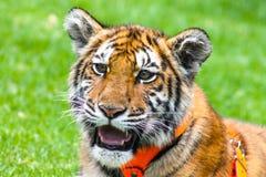 Piękny dziecko tygrysa portret Obrazy Royalty Free