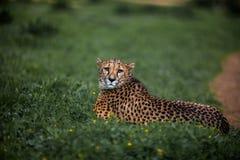 Piękny Dziki gepard odpoczywa na zieleni polach, Zamyka up Zdjęcie Royalty Free