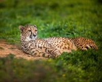 Piękny Dziki gepard odpoczywa na zieleni polach, Zamyka up Obrazy Royalty Free