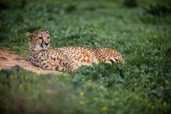 Piękny Dziki gepard odpoczywa na zieleni polach, Zamyka up Fotografia Stock