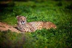 Piękny Dziki gepard odpoczywa na zieleni polach, Zamyka up Obraz Stock