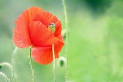 Piękny dziki makowy kwiat Obraz Royalty Free