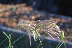 Piękny egipcjanin Crowfootgrass W polu Zdjęcia Stock