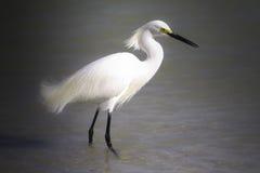 Piękny Egret obrazy stock
