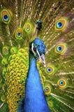 Piękny egzotyczny paw Obraz Stock