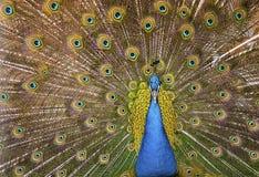 Piękny egzotyczny paw Zdjęcia Royalty Free