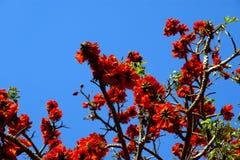 Piękny Ekstrawagancki drzewo (Królewski Poinciana lub Delonix regia) Obraz Stock