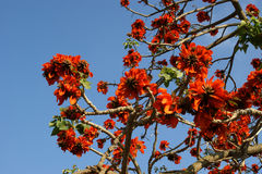 Piękny Ekstrawagancki drzewo (Królewski Poinciana lub Delonix regia) Obrazy Stock