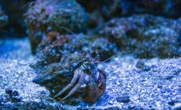 Piękny eremita krab Fotografia Stock