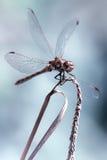 Piękny estetyczny portret dragonfly Zdjęcie Stock