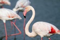 Piękny flaminga portret Fotografia Royalty Free