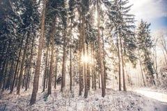 Pi?kny g?sty las z wysokimi cienkimi drzewami fotografia royalty free