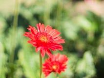 Piękny gerbera kwiat w ogródzie zdjęcie stock