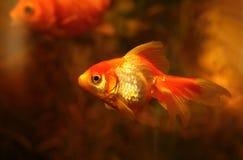 piękny Goldfish w akwarium Obrazy Stock