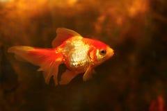 piękny Goldfish w akwarium Zdjęcia Stock