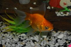 Piękny goldfish w zbiorniku Fotografia Royalty Free